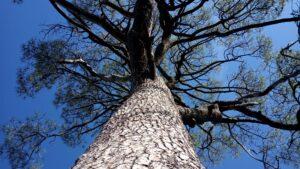 Árbol Singular de Colmenarejo
